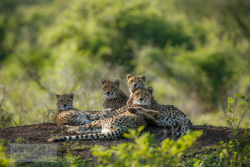 Cheetah family together