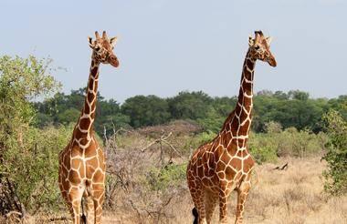 safari-in-kenia_samburu_01