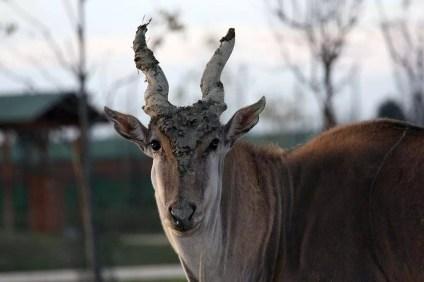 Antilope-alcina - Safari-Ravenna