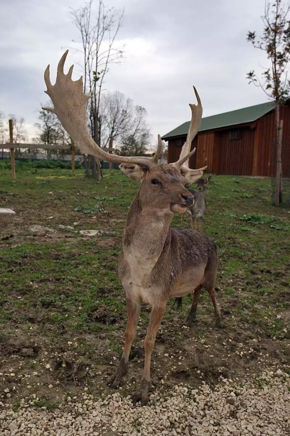 Daino - Safari Ravenna