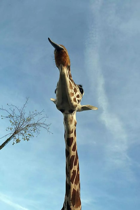 Giraffa - Safari Ravenna