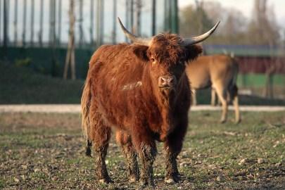 Mucca delle Highlands - Safari Ravenna