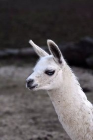 Lama - Safari Ravenna