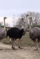 Struzzo - Safari Ravenna