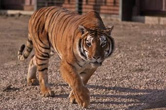 Tigre - Safari Ravenna
