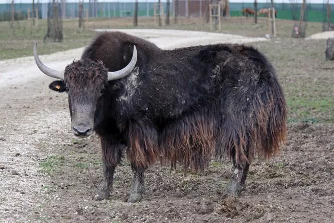 Yak - Safari Ravenna