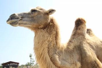 cammello2