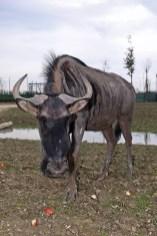 Gnu - Safari Ravenna