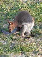 canguri (1)