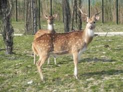 cervo pomellato (2)