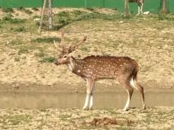 cervo pomellto 3