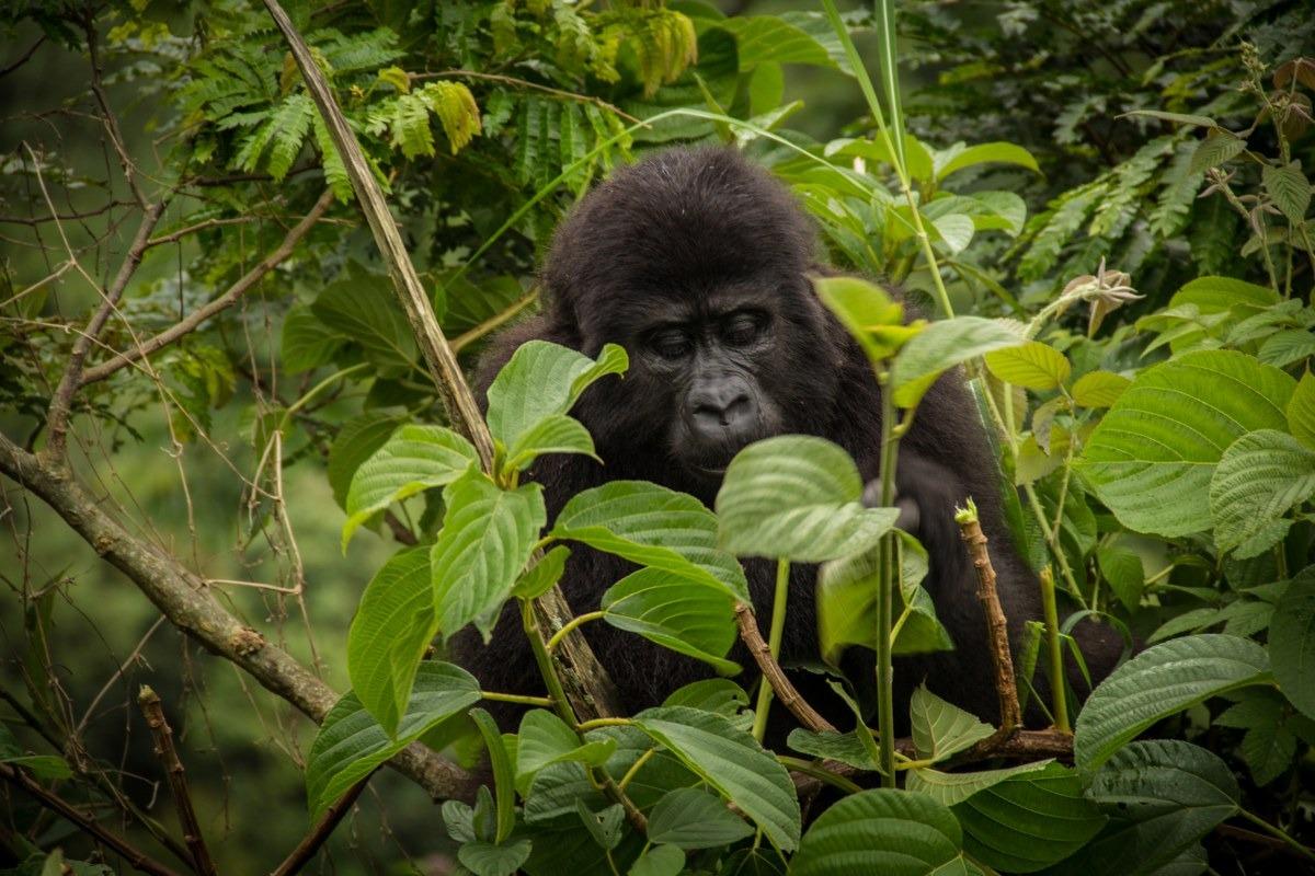 7 Days Uganda Gorilla Safari to Bwindi