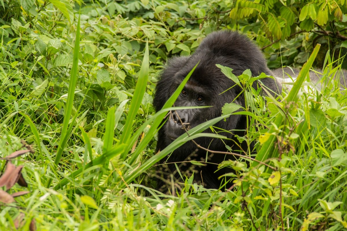3 days Gorilla Safari Uganda to Mgahinga Gorilla Park