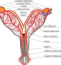dog reproduction anatomy safari veterinary in league city tx dog uterus diagram  [ 981 x 895 Pixel ]