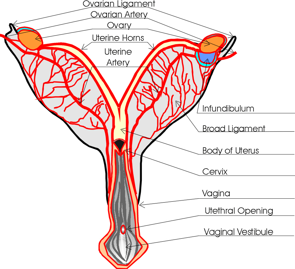 medium resolution of dog reproduction anatomy safari veterinary in league city tx dog uterus diagram