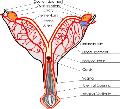 small resolution of dog reproduction anatomy safari veterinary in league city tx dog uterus diagram