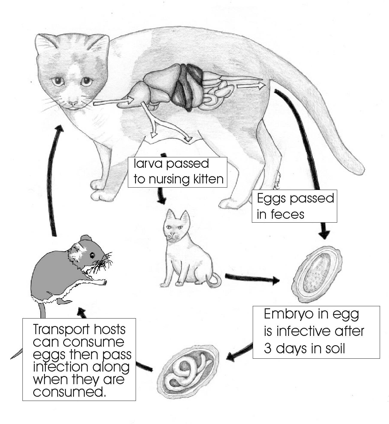 Toxoplasmosis In Pets