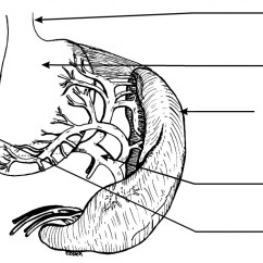 Diagram For Eye Surgery Cartoon Kenwood Dnx5140 Wiring The Spleen In Dogs & Cats | Safari Veterinary League City, Tx
