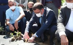 Vali Dr. Ozan Balcı Erbaa Kozlu'da Çilek Fidesi Dikti