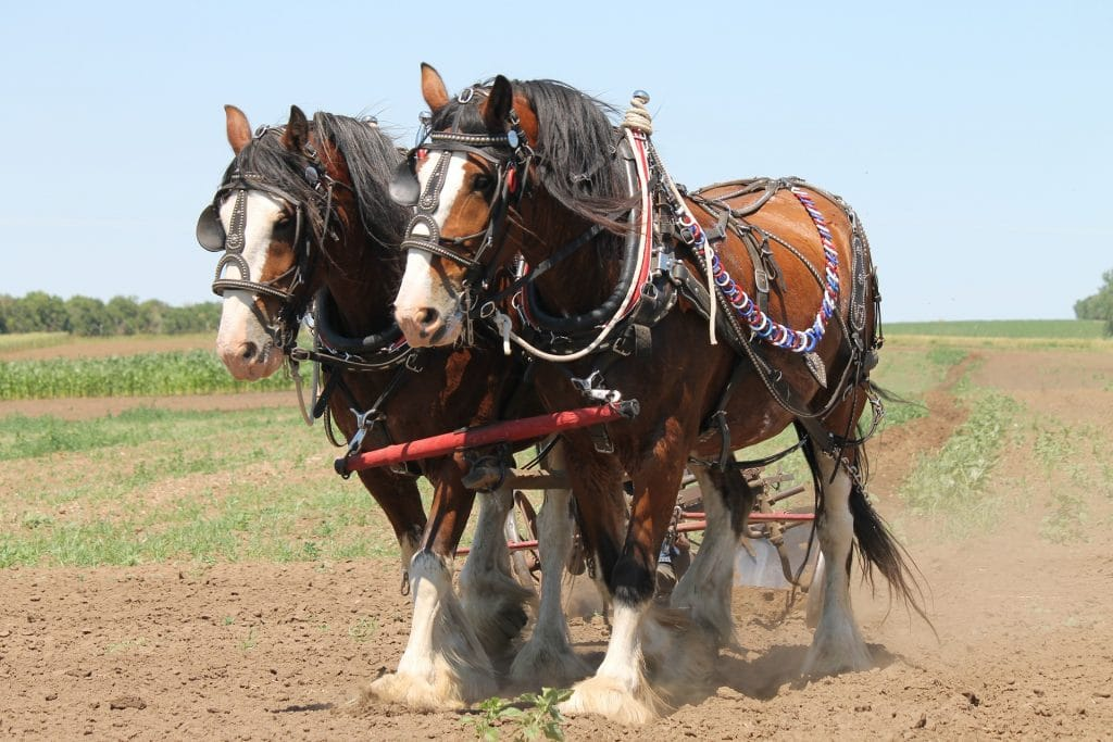 two clydesdales in harness in dirt field