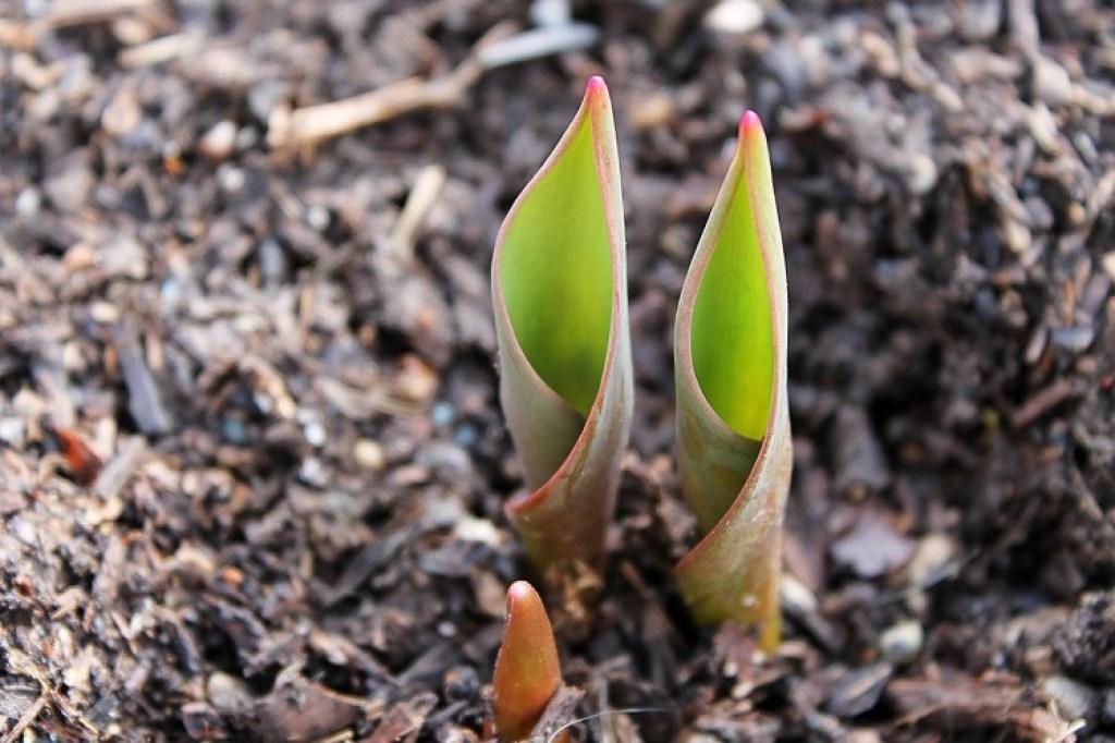 tunas tulip siap dipupuk