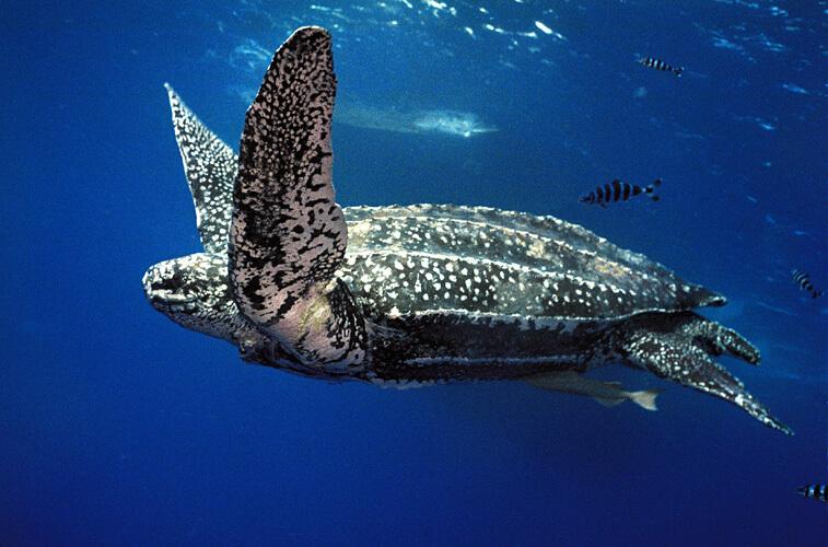 penyu blimbing didalam laut sebagai yang terbesar di dunia