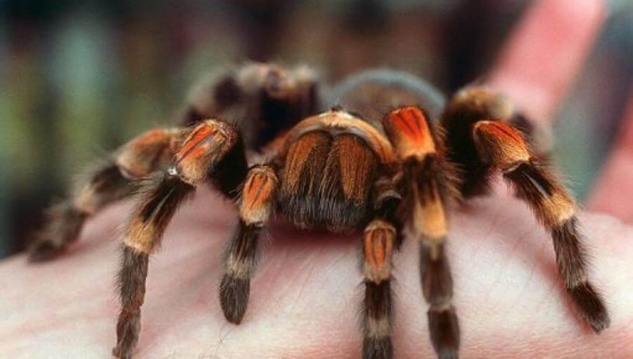 tarantula sebagai binatang peliharaan