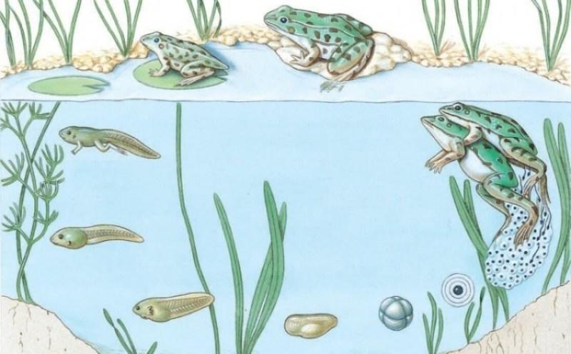 metamorfosis sempurna pada katak
