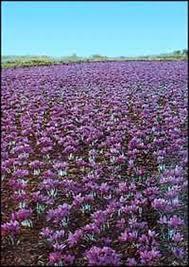 افزایش تولید زعفران,انتظار ثبات قیمت زعفران