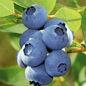 bluberry-fidanı-bluecrop