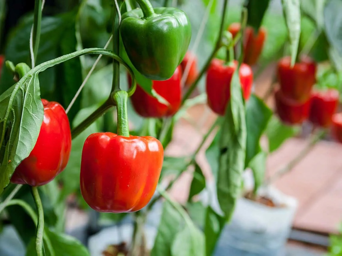 Image Result For How To Plant Vegetables In Pots At Home