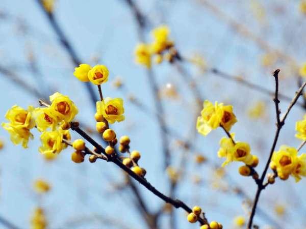 winter-flowering scented plants