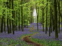 Bluebell walks with the National Trust - Saga