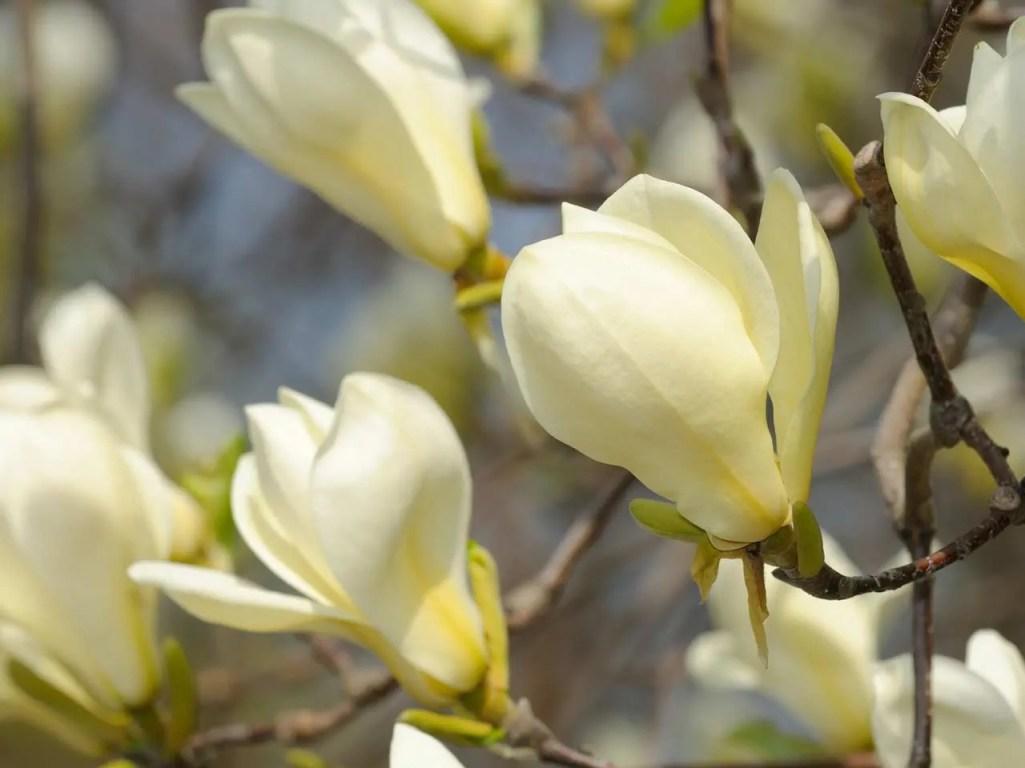 Image result for magnolia