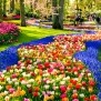 Tulips Bloom In The Keukenhof Saga