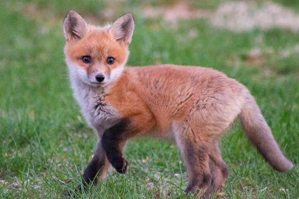 Photo of a fox kit enjoying the country life.