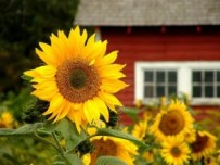 Manfaat Unik Biji Bunga Matahari