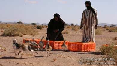 Photo of موريتانيا.. مشروع إماراتي لإعادة توطين «الحبارى»