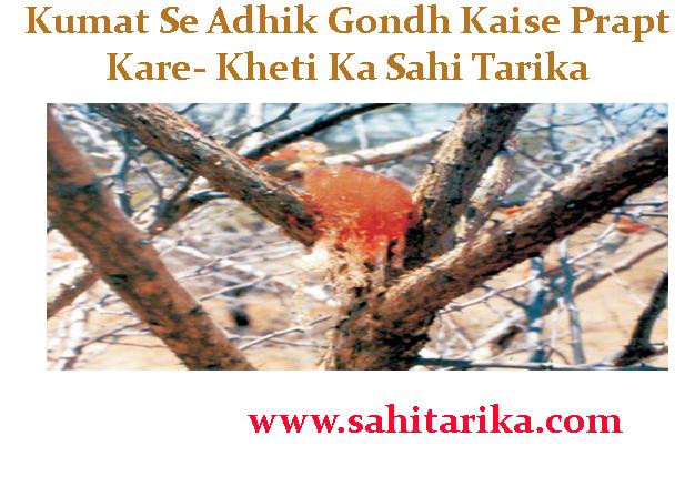 Kumat Se Adhik Gondh Kaise Prapt Kare- Kheti Ka Sahi Tarika