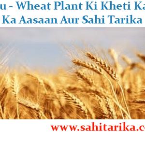 Gehu - Wheat Plant Ki Kheti Karne Ka Aasaan Aur Sahi Tarika