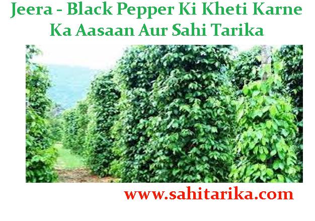 Jeera - Black Pepper Ki Kheti Karne Ka Aasaan Aur Sahi Tarika