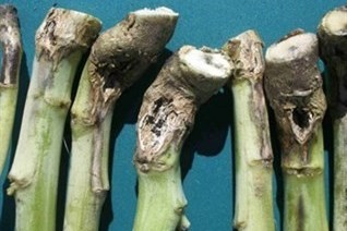 Interior of Canola Stem Infected with Blackleg