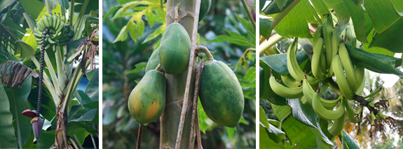 vieques_fruit_trees