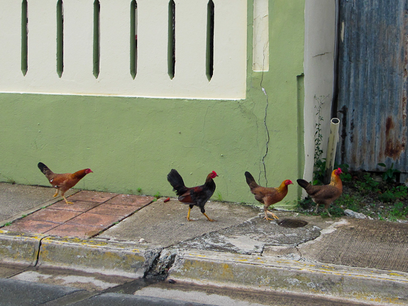 vieques_roosters