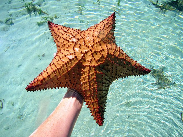 Find starfish while walking the sandbars around Abacos, Bahamas