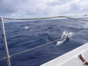 A Delight of Dolphins is a highlight of offshore sailing