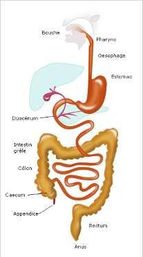 Maladie chronique commence avec l'échec dans votre intestin