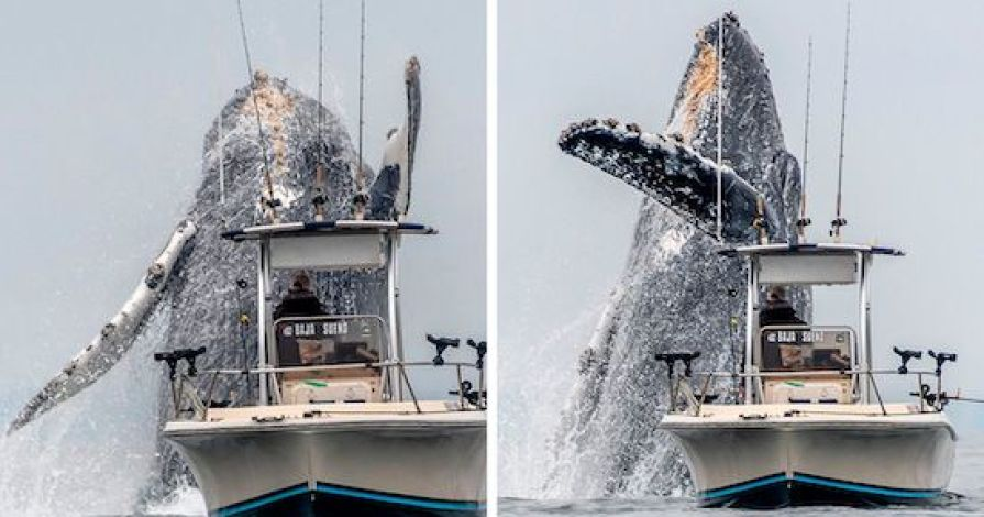 baleine géante qui saute