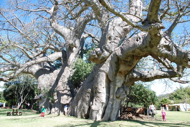 Largest tree in SA