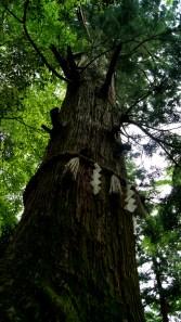 樹齢数百年の杉